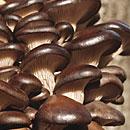 Austernseitling (Pleurotus ostreatus)