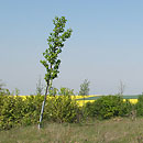 Jungbaumpflanzung